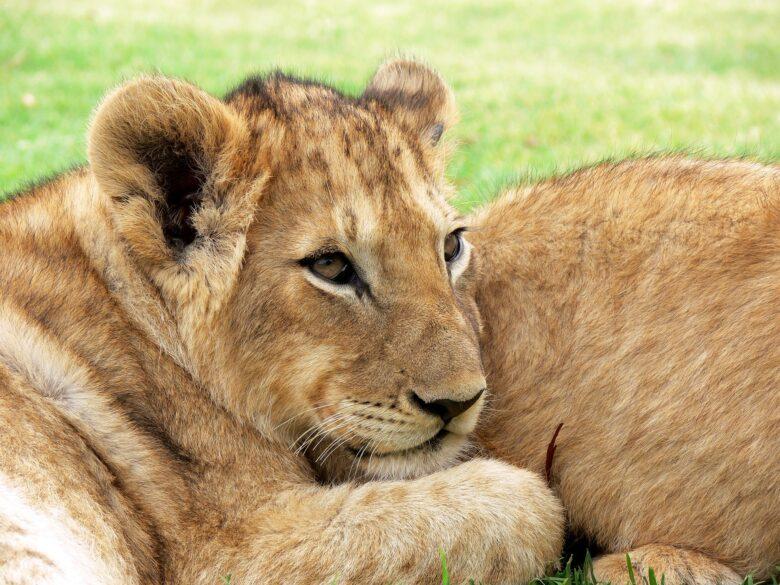 lion-275975_1920